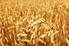 Golden wheat closeup Royalty Free Stock Photography