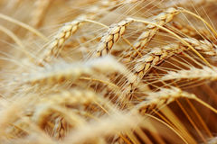 Golden Wheat closeup Stock Image