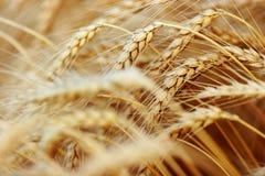 Golden Wheat closeup Stock Image