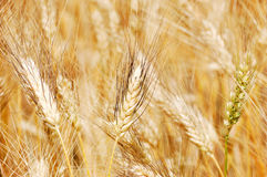 Golden wheat closeup Stock Photography