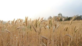Golden wheat crop blowing in the wind stock video footage