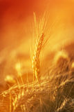 Golden Wheat Crops in Agricultural Field Stock Images