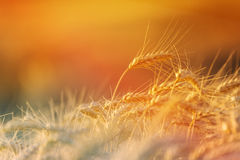 Golden Wheat Crops in Agricultural Field Stock Photos
