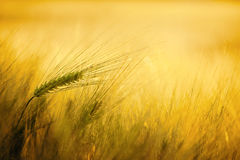 Golden wheat dream Royalty Free Stock Photo