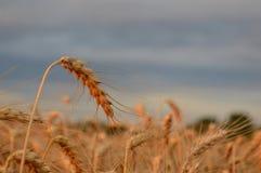Dry golden wheat Stock Image