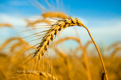 Golden wheat ear Stock Image