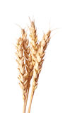 Golden wheat ear. Isolated golden wheat ear after the harvest Stock Photography