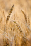 Golden wheat ear bathing in sunlight Stock Photos