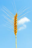 Golden wheat ear Stock Photo