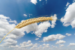 Golden wheat ear at blue sky background, harvest and farming Stock Photo