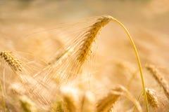 Golden wheat ear. Closeup of golden wheat ear in blurred wheat field royalty free stock photo