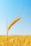 Golden wheat ear closeup Royalty Free Stock Photos
