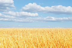 Golden wheat ear Royalty Free Stock Photography