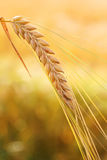 Golden wheat ear Royalty Free Stock Image