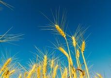 Golden wheat of ear under blue sky Stock Photo