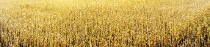 Golden wheat early morning by summer. Stock Photos