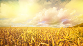 Golden wheat in the early morning sun Royalty Free Stock Image