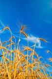 Golden wheat ears Stock Image