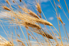 Golden wheat ears against blue sky Royalty Free Stock Photos