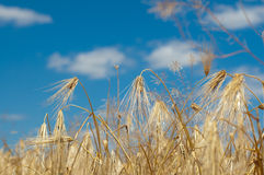 Golden wheat ears against blue sky Royalty Free Stock Photo