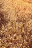 Golden wheat ears in agricultural field in sunset. Stock Image
