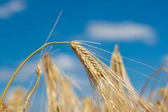 Golden wheat ears on blue sky background Stock Photos
