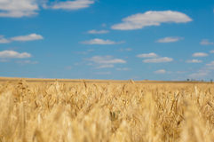 Golden Wheat Ears on blurred blue sky background Royalty Free Stock Photo