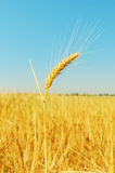 Golden wheat ears on field and blue sky Royalty Free Stock Images