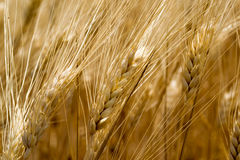 Golden wheat ears in the field -closeup Royalty Free Stock Photography