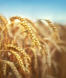 Golden wheat ears in field Stock Photography