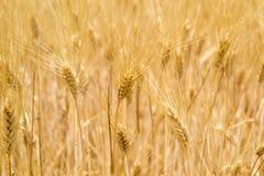 Golden wheat ears in the field Stock Photo