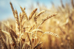 Golden wheat ears Stock Photography