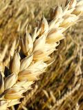 Golden Wheat Ears Before The Harvest Royalty Free Stock Photo