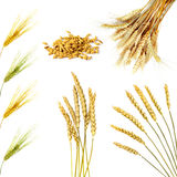 Golden wheat ears  isolated on white background Royalty Free Stock Photo