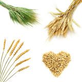 Golden wheat ears  isolated on white background Stock Image