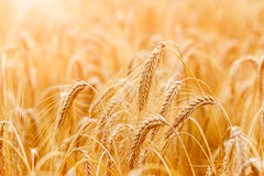 Golden wheat ears or rye close-up. A fresh crop of rye. Field of Royalty Free Stock Image