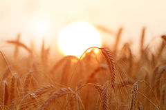 Golden wheat ears or rye close-up. A fresh crop of rye. Field of Royalty Free Stock Images