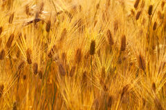 Golden wheat ears in sunset Stock Photography