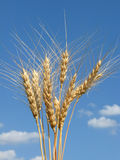 Golden wheat ears under a blue sky Stock Photo