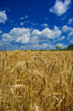 Golden wheat in farm field. Over blue sky Royalty Free Stock Image