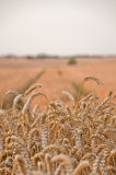 Golden wheat field. Close-up of wheat with field in the background Royalty Free Stock Photography