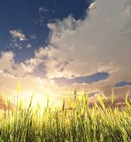 Golden wheat field. In the sunset Stock Images