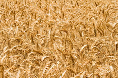 Golden wheat field. A photo of golden wheat field background Stock Images