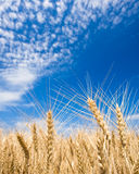 Golden wheat field Stock Images