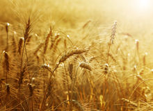 Free Golden Wheat Field Stock Photos - 15386443