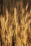 Golden wheat field . Royalty Free Stock Photos