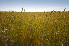 Golden Wheat field Royalty Free Stock Image