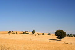 Golden wheat field. In rural northern portugal (Miranda do Douro royalty free stock image