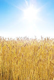 Golden wheat field. And blue sky on a sunny day royalty free stock images