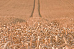 Golden wheat field #2. Golden wheat field with tracks in the background Stock Photo